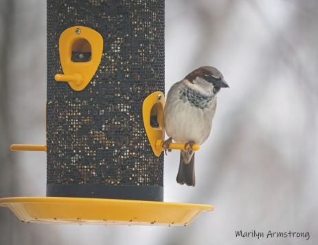 300-house-sparrow_second-snow-day-birds_0062