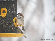 300-house-sparrows_snow_020321_0071