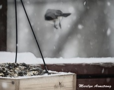 300-incoming-tufted-titmouses_more-snow_020721_0138