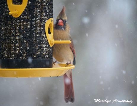 300-lady-cardinal_more-snow_020721_0116