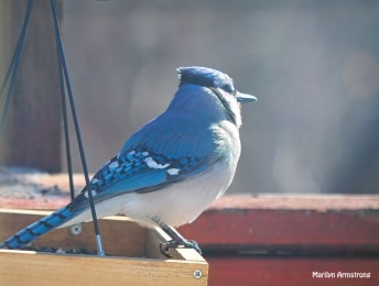 300-looking-blue-jay_013021_004