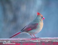 Strangely-colored Cardinal