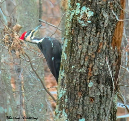 300-Pileated-Woodpecker_011721_0319