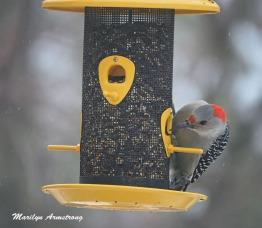 300-red-bellied-woodpecker_020921_0003