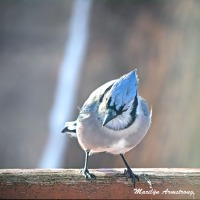 300-square-blue-jay_020621_0024