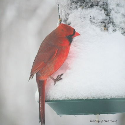A red red Cardinal on a snowy feeder