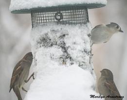 300-tufted-titmouse_sparrow_020221_0038