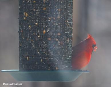 300-very-red-cardinal_013021_0022