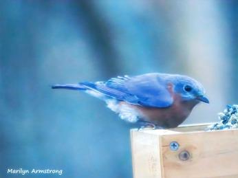 Bright Bluebird