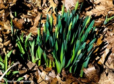 300-daffodils-to-come__032721_020