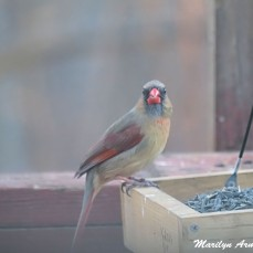 Mdm. Lady Cardinal
