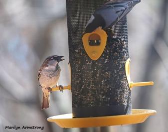 300-nuthatch__sparrow__common-birds__032321_007