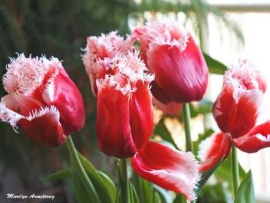Garry's tulips