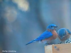 300-two-bluebirds_030521_020