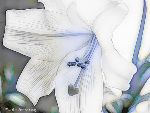 300-sketch-easter-lily__041321_117