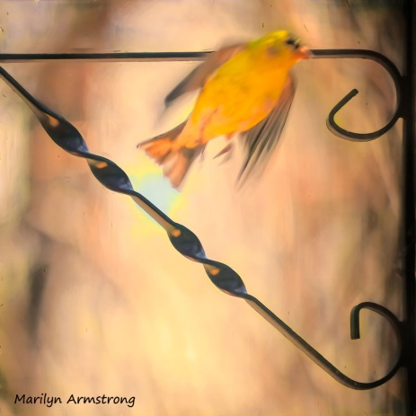 300-sqiare-flying-goldfinch__040821_040