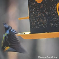 300-square-diving-goldfinch__040821_035
