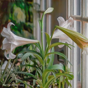 300-square-easter-lilies-three__040621_001