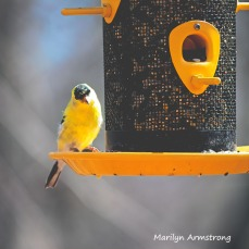 300-square-edgy-goldfinch__040821_051