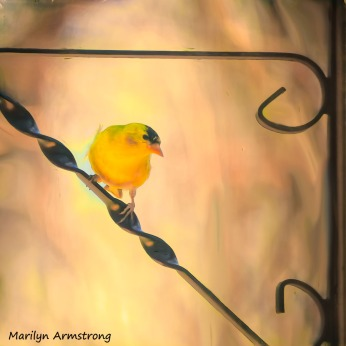 Goldfinch on the brakcet