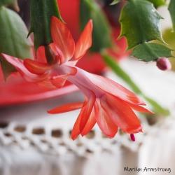 300-square-not-a-christmas-cactus0__40621_019