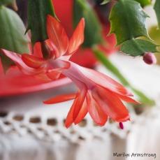300-square-not-a-christmas-cactus__040621_019.