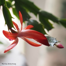 300-square-not-christmas-cactus__040521_021