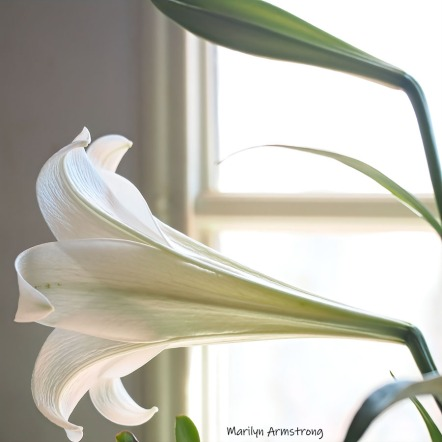 300-square-side-easter-lilies__040521_003