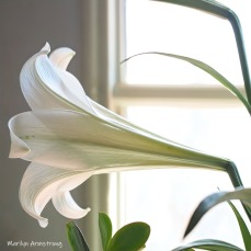 300-square-side-easter-lilies__040521_004
