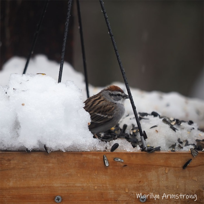 This image has an empty alt attribute; its file name is 300-square-snow-chipper-sparrow__041621_058.jpg